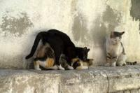 Cat Reproduction