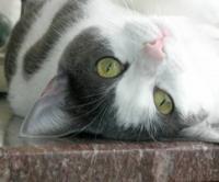Cats Megacolon