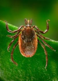Lyme Disease: Tick